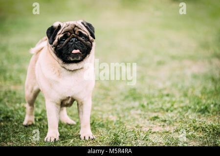 Mops Pug ou jeunes debout dans l'herbe verte. Banque D'Images