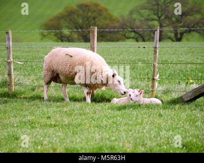Les brebis avec leurs petits agneaux dans un champ vert au printemps dans la campagne anglaise. L'élevage, l'agriculture Banque D'Images