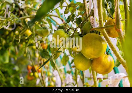Tomates vertes sur une branche Banque D'Images