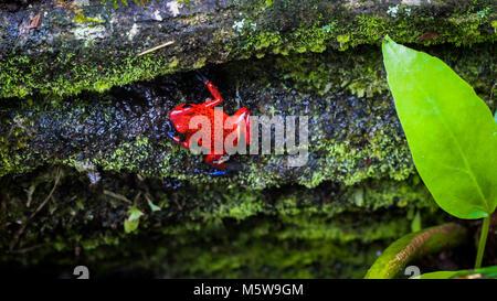 Strawberry dart frog dans la forêt du Costa Rica Banque D'Images