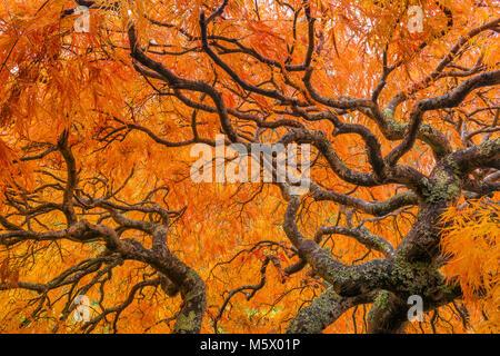 L'érable japonais, Laceleaf, Acer palmatum, Fern Canyon Jardin, Mill Valley, Californie Banque D'Images