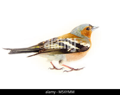Chaffinch (Fringilla coelebs) la plupart des oiseaux communs de l'Europe, d'oiseaux forestiers, les roselins, les Banque D'Images