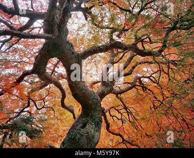 Japanese Maple, Acer, Laceleaf palmata, Fern Canyon Jardin, Mill Valley, Californie Banque D'Images