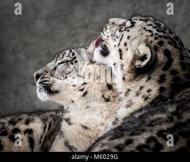 Paire de Snow Leopard II Banque D'Images