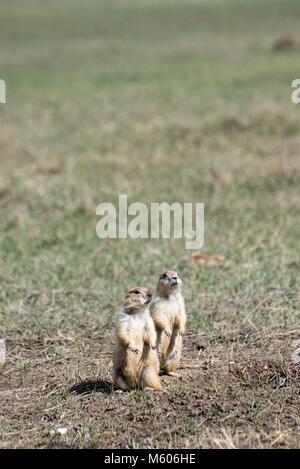Le Dakota du Sud. Badlands National Park. Chien de prairie, Cynomys ludovicianus. Les chiens de prairie à regarder Banque D'Images