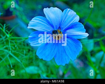 Abeille de sucer le nectar des fleurs d'un cosmos Banque D'Images