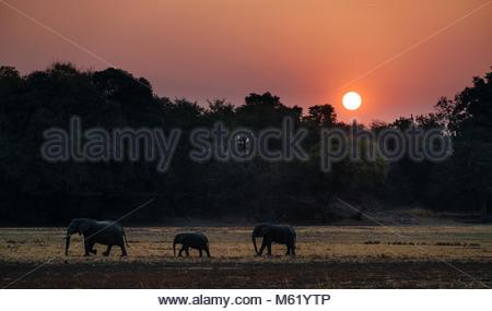 Troupeau d'éléphants d'Afrique, Loxodonta africana, balade au coucher du soleil dans la région de South Luangwa. Banque D'Images