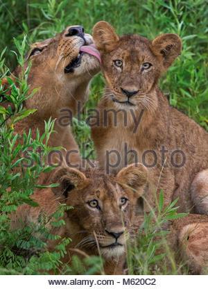 Une mère lion, Panthera leo, nettoie son petit. Banque D'Images