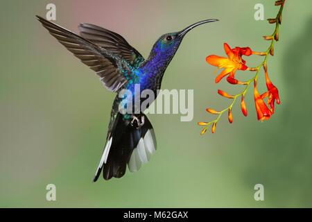 Campyloptère violet comme il se nourrit de hummingbird planant sur une fleur