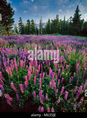 Lupin, Horse Prairie, Emigrant Wilderness, forêt nationale Stanislaus, Sierra Nevada, en Californie Banque D'Images