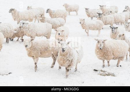 Balfron, Stirlingshire, Scotland, UK. 28 Février, 2018. UK - les moutons dans l'espoir de nourriture dans la neige Banque D'Images
