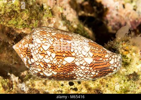 Conidae textile à la chasse en Papouasie Nouvelle Guinée. Banque D'Images