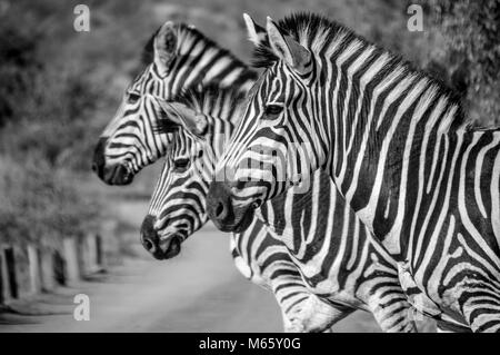 Trois Zebra qui pose pour moi en Afrique Banque D'Images