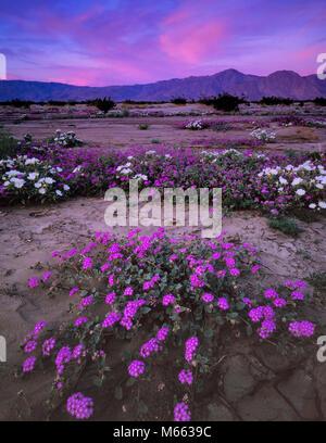 L'aube, de la verveine, Anza-Borrego Desert State Park, San Diego County, Californie Banque D'Images