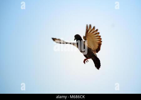 Les pigeons voler dans le ciel bleu pur Banque D'Images