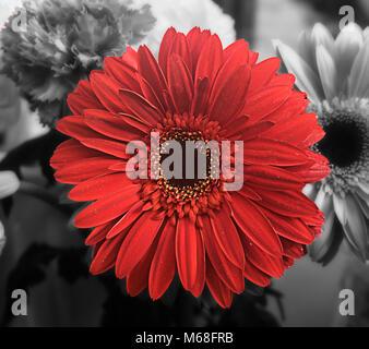 Une fleur Gerbera rouge avec d'autres fleurs en monochrome à l'arrière-plan. Banque D'Images