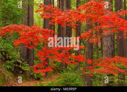 L'érable japonais, séquoias, Fern Canyon Jardin, Mill Valley, Californie Banque D'Images