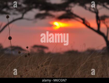 Coucher du soleil dans le parc national de Serengeti, Tanzanie. Banque D'Images