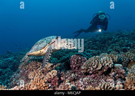 Diver observe Tortue verte (Chelonia mydas) sur les récifs coralliens avec Bush (coraux Pocillopora), océan Pacifique, Banque D'Images