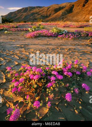 La verveine de sable, les vasières, Henderson Canyon, Anza-Borrego Desert State Park, CA Banque D'Images