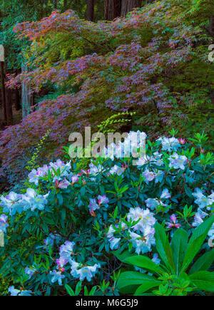 Azalées, érable japonais, Fern Canyon Jardin, Mill Valley, Californie Banque D'Images
