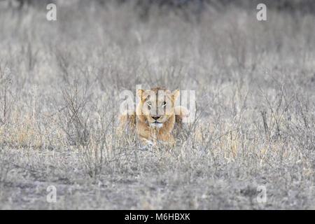 Kruger Park, Afrique du Sud. Panthera leo lionne dans l'herbe morte à regarder la caméra. Banque D'Images