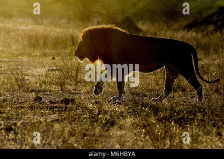 Kruger Park, Afrique du Sud. Panthera leo balade au lever du soleil.