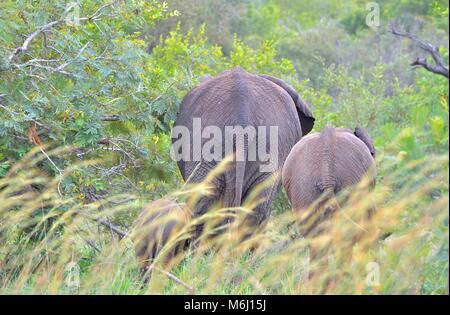 Kruger Park, Afrique du Sud. Un paradis de la faune et des oiseaux. L'éléphant d'Afrique Loxodonta africana Banque D'Images