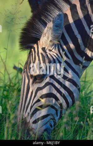 Kruger Park, Afrique du Sud. Un paradis de la faune et des oiseaux. Tête de zèbre de manger l'herbe verte. Banque D'Images