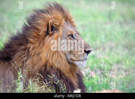 Kruger Park, Afrique du Sud. Un paradis de la faune et des oiseaux. La crinière d'un lion magnifique portrait Banque D'Images