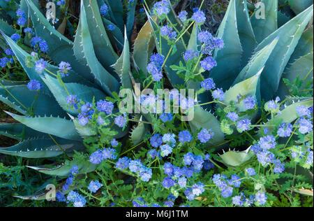 L'agave bleu, phacélie, Canyon Glorietta, Anza-Borrego Desert Banque D'Images