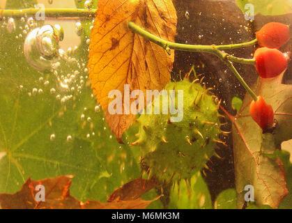 La vie encore l'automne, la châtaigne laisse brier et est tombé dans l'eau Banque D'Images