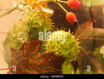 La vie encore l'automne et les feuilles de châtaignier, brier est tombé dans l'eau Banque D'Images