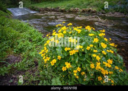 Mollyblobs ou populage des marais Caltha palustris de plus en plus à côté de la rivière à Bradford Dale près de Attalens dans le Derbyshire Peak District UK