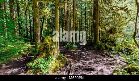 Un sentier de randonnée avec les racines des arbres, dans une forêt subtropicale dense avec des arbres et des branches, Banque D'Images