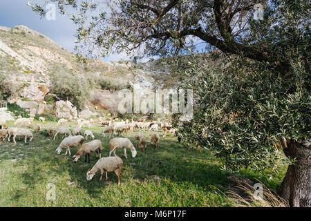 Las Alpujarras, province de Grenade, Andalousie, Espagne: les chèvres et moutons broutant dans un pré, dans les Banque D'Images