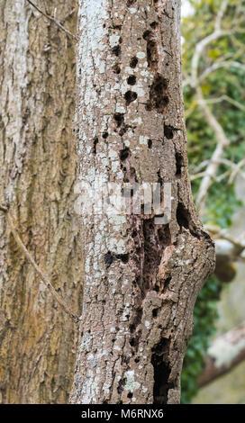 L'écorce sur un tronc d'arbre avec des trous, probablement des dommages. pic Banque D'Images