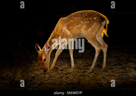 Bébé chevreuil sur fond sombre Golden deer à côté de lumière dorée sur le corps Banque D'Images