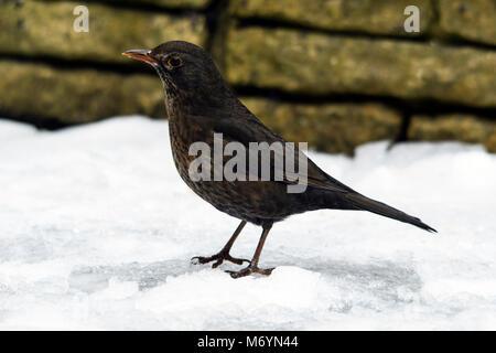 Blackbird femelle dans la neige par le bord d'un jardin clos à la recherche et à la recherche de nourriture. Banque D'Images