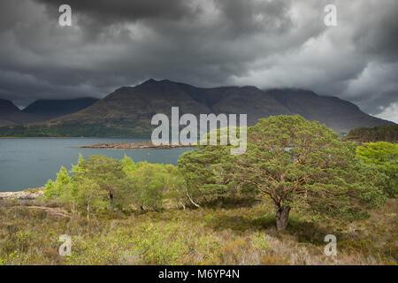 Pins calédoniens sur Aird Mhor ci-dessus le Loch Torridon, Ben Damh Estate, Wester Ross, Scotland, UK Banque D'Images