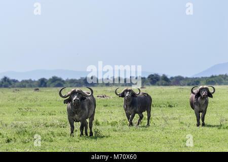 La lutte ou à la fuite, alerte buffle sur la savane, Grumeti Game Reserve, Serengeti, Tanzanie Banque D'Images