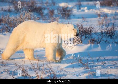 01874-13612 l'ours polaire (Ursus maritimus) Cape Churchill, Parc National de Wapusk, Churchill, MB Banque D'Images
