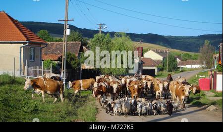Les animaux d'aller au pâturage en Formation Banque D'Images