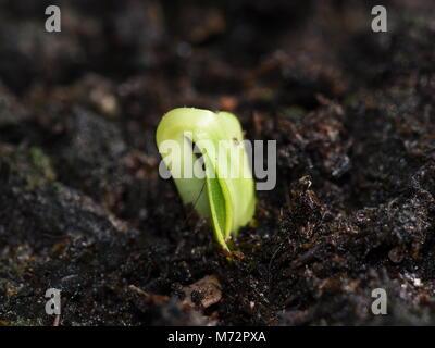 La germination des graines de sol noir plié pour protéger leaf Banque D'Images