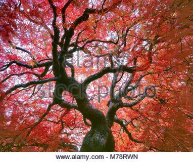 La fin de l'automne, des feuilles d'érable japonais, de la Dentelle, Acer palmatum, Fern Canyon Jardin, Mill Valley, Banque D'Images