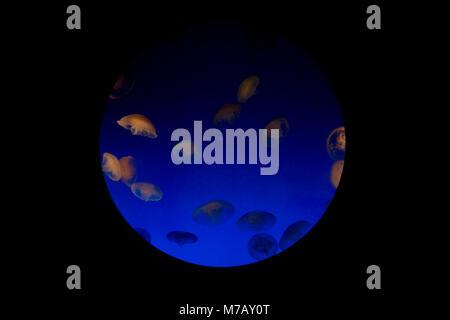 Close-up of a Jelly fish (Chironex fleckeri) dans un aquarium, l'Aquarium de Monterey Bay, Monterey, Californie, Banque D'Images
