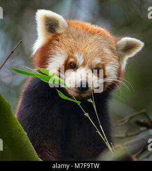 Petit panda Ailurus fulgens Banque D'Images