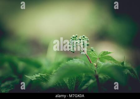 Cinq feuilles de vigne feuilles Parthenocissus quinquefolia avec des gouttes de pluie sur le dessus. Close up avec Banque D'Images