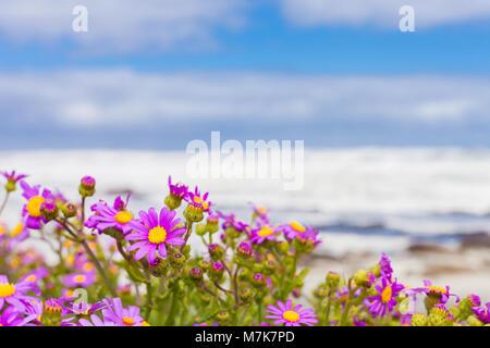 Côtières rose des fleurs sur une plage à Cape Town Afrique du Sud Banque D'Images