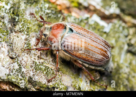 Cockchafer Melolontha peut Beetle Bug insecte Macro